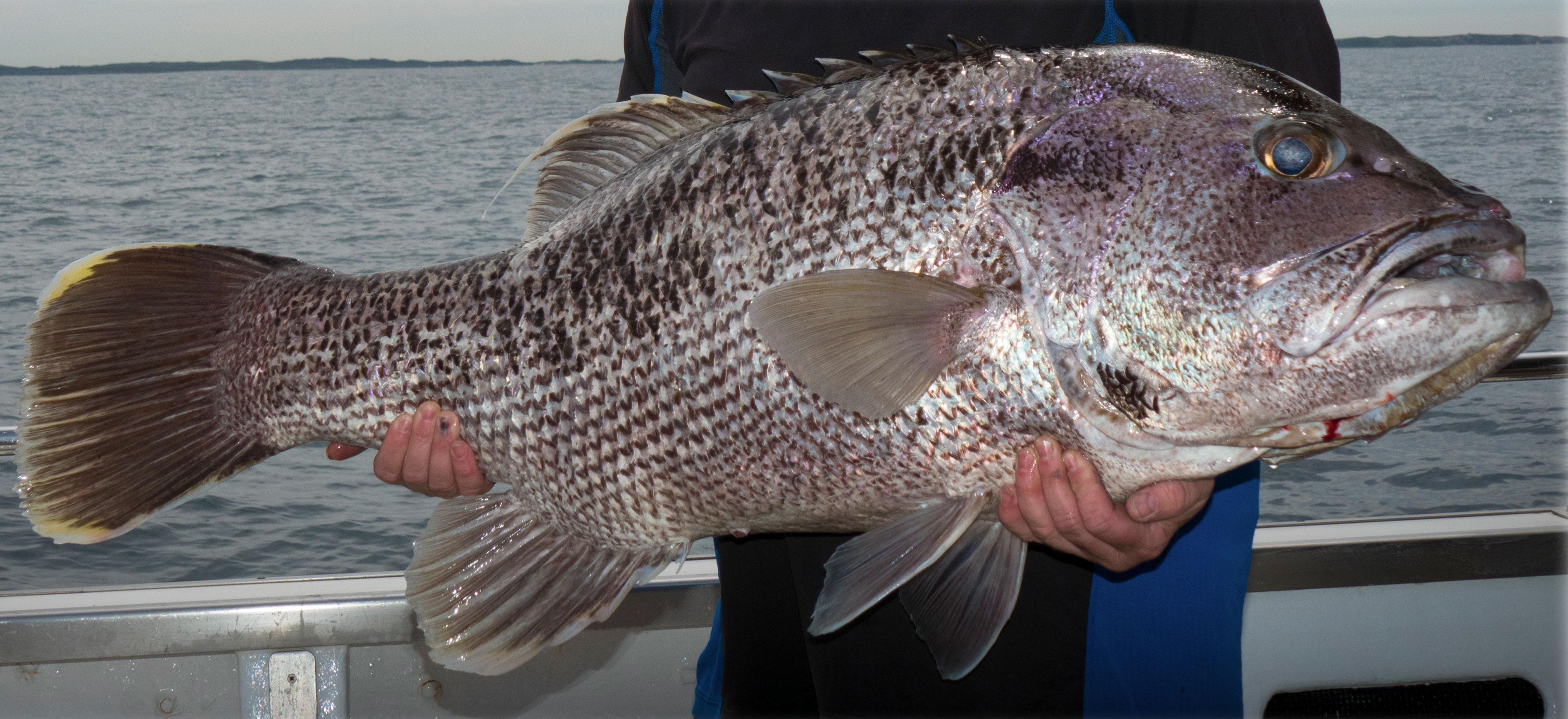 Fremantle Dhufish