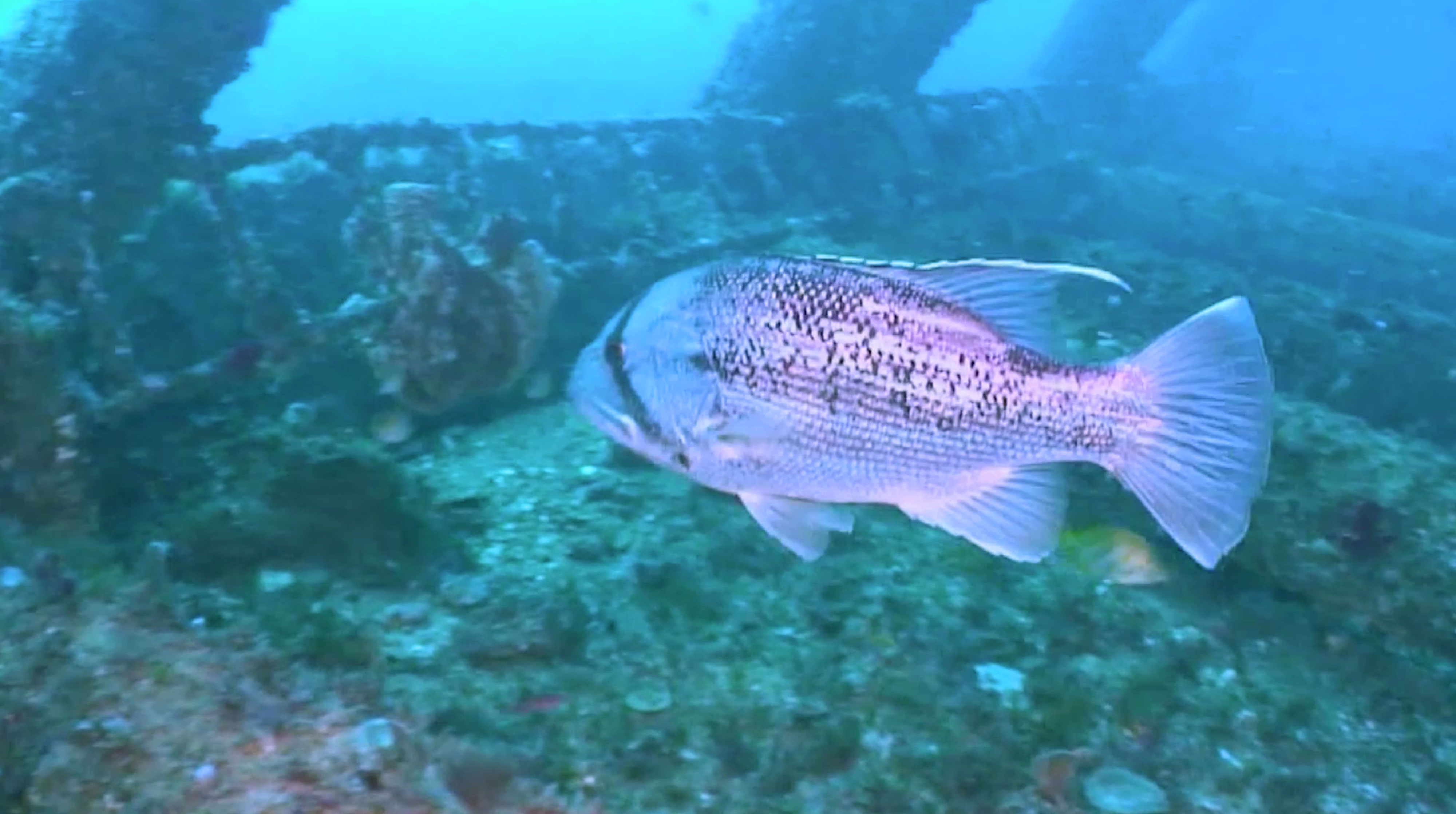 Dhufish Underwater