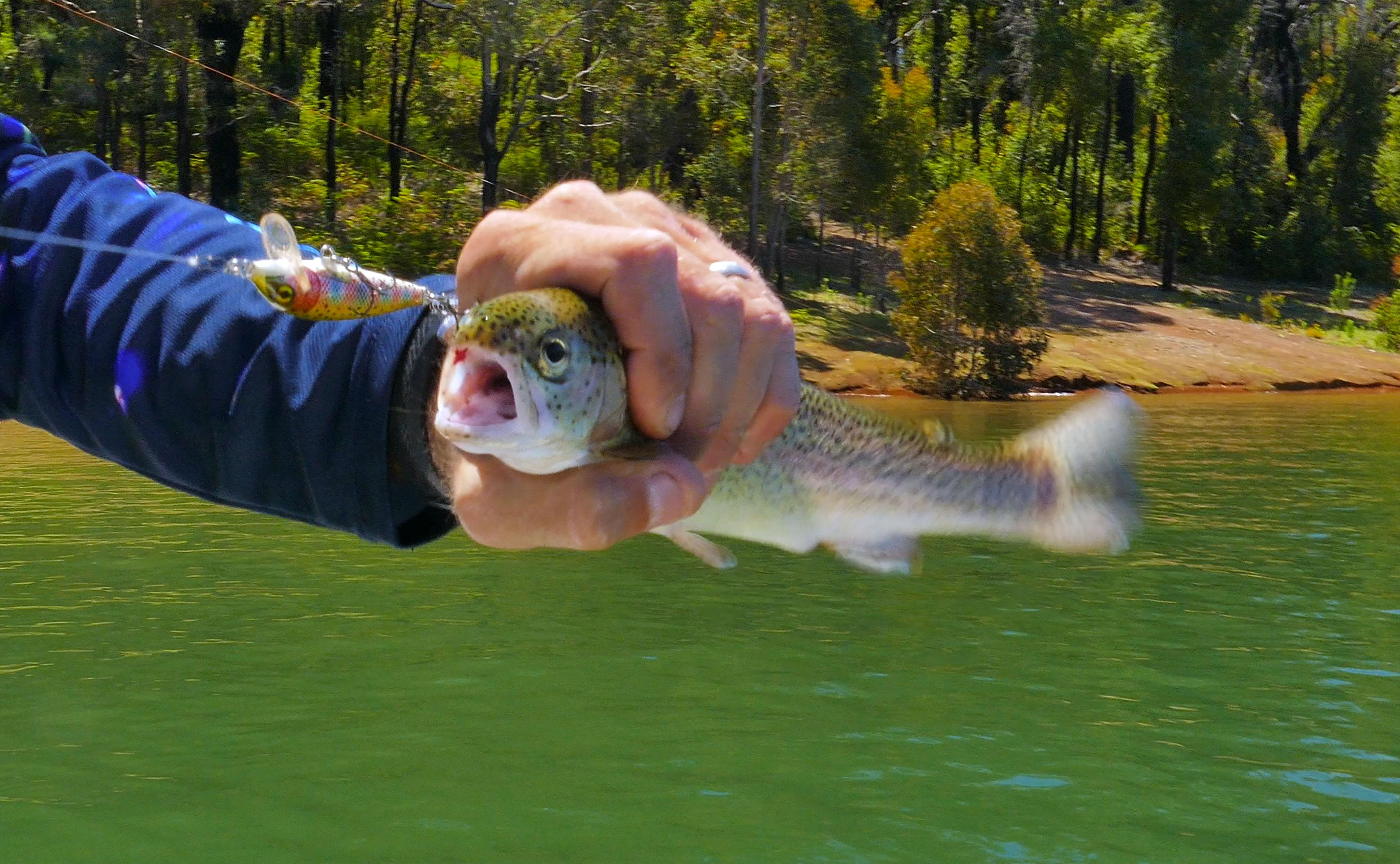 Waroona Dam Rainbow Trout