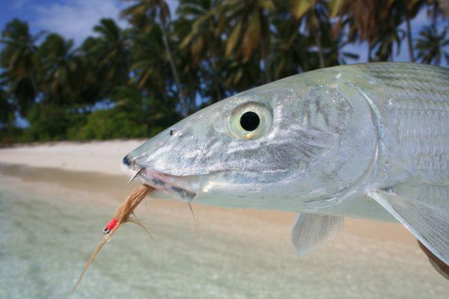 Cocos Islands Bonefish