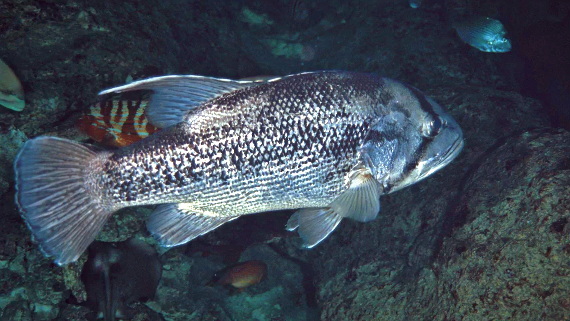 West Australian Dhufish Underwater