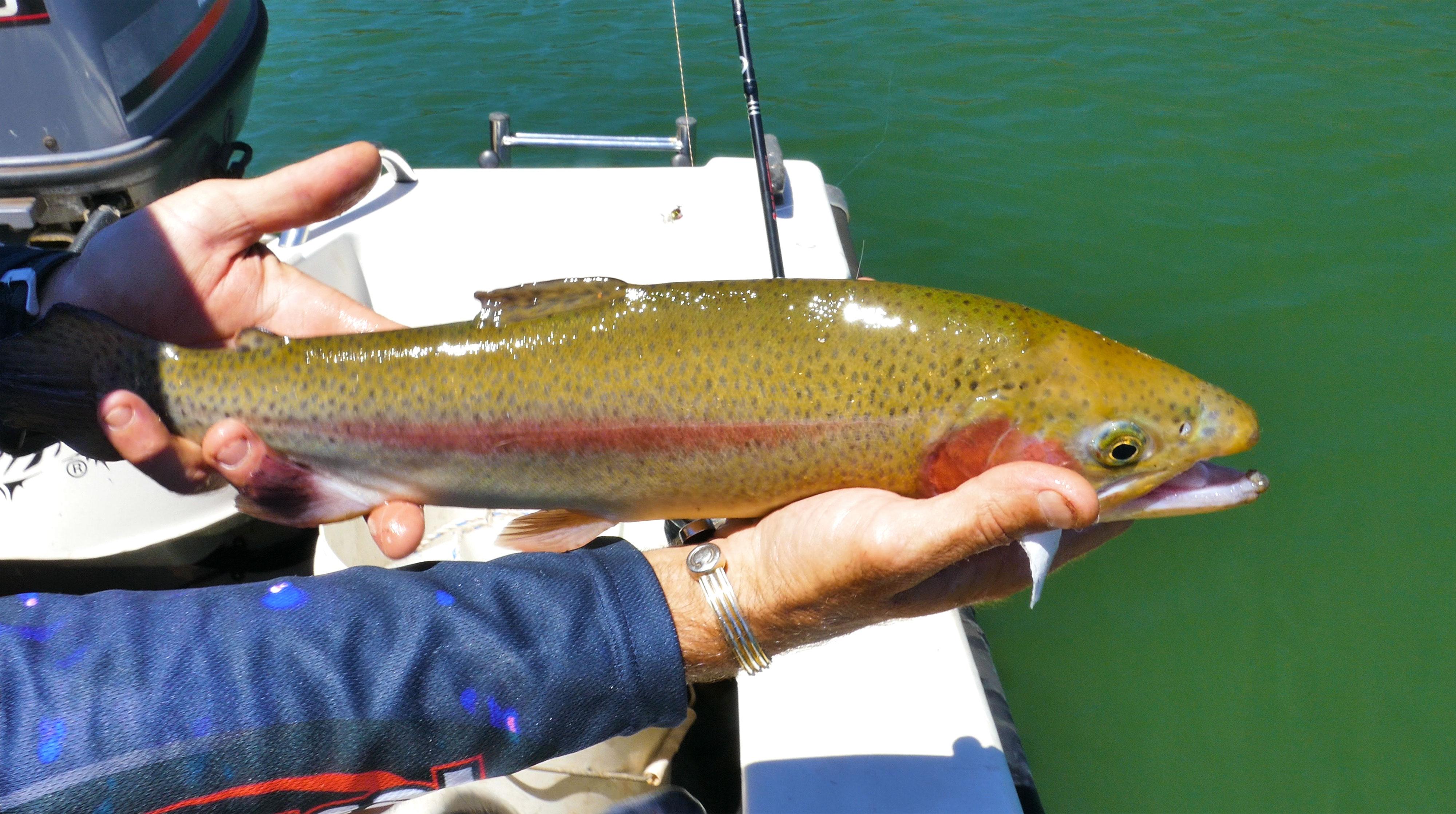 Male Rainbow Trout from Lake Navarino