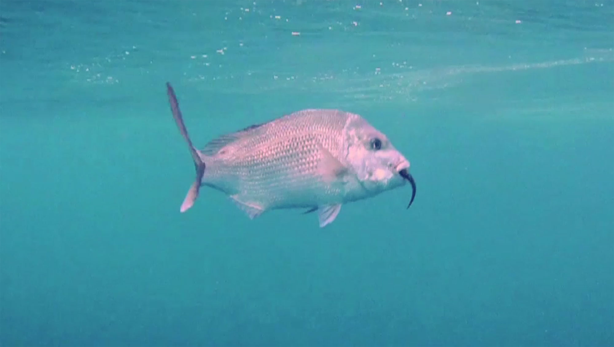Pink Snapper with Soft Plastic Lure